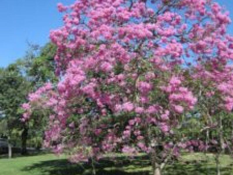 Alagoas Mais Verde: Árvore Ipê Rosa possui benefícios para além da arborização