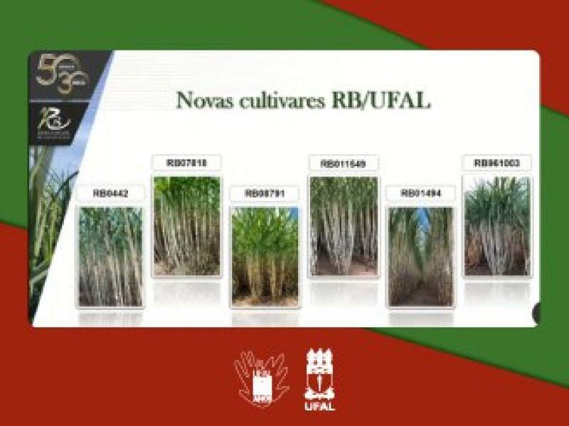 Variedades de cana-de-açúcar da Ufal têm alta produtividade agrícola