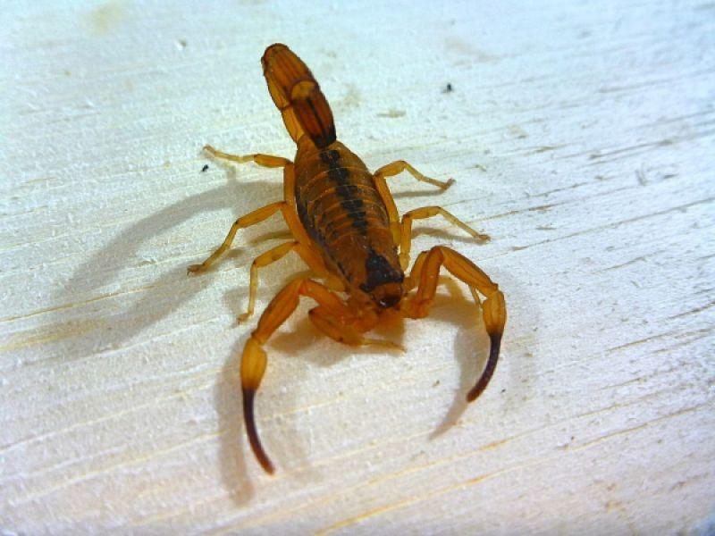 Saúde alerta para cuidados e prevenção contra a proliferação de escorpiões
