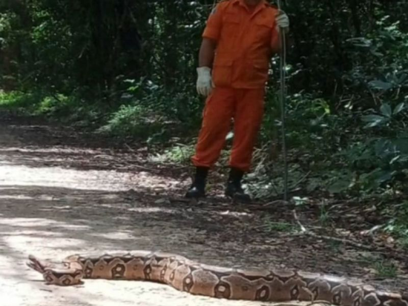 Jiboia de aproximadamente três metros é capturada na Vila Primavera em Penedo
